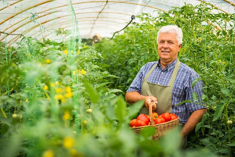 Pomidory w tunelu foliowym